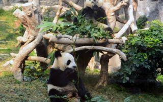 Павильон с пандами