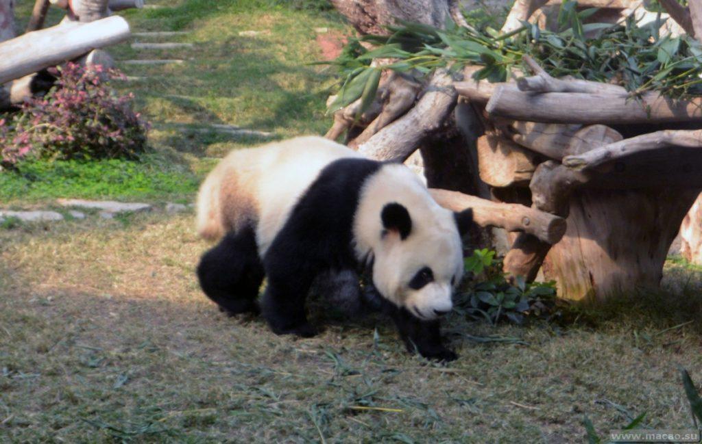 Панды в Макао