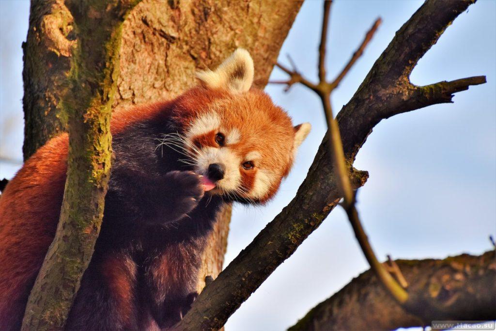 Красная панда в Макао