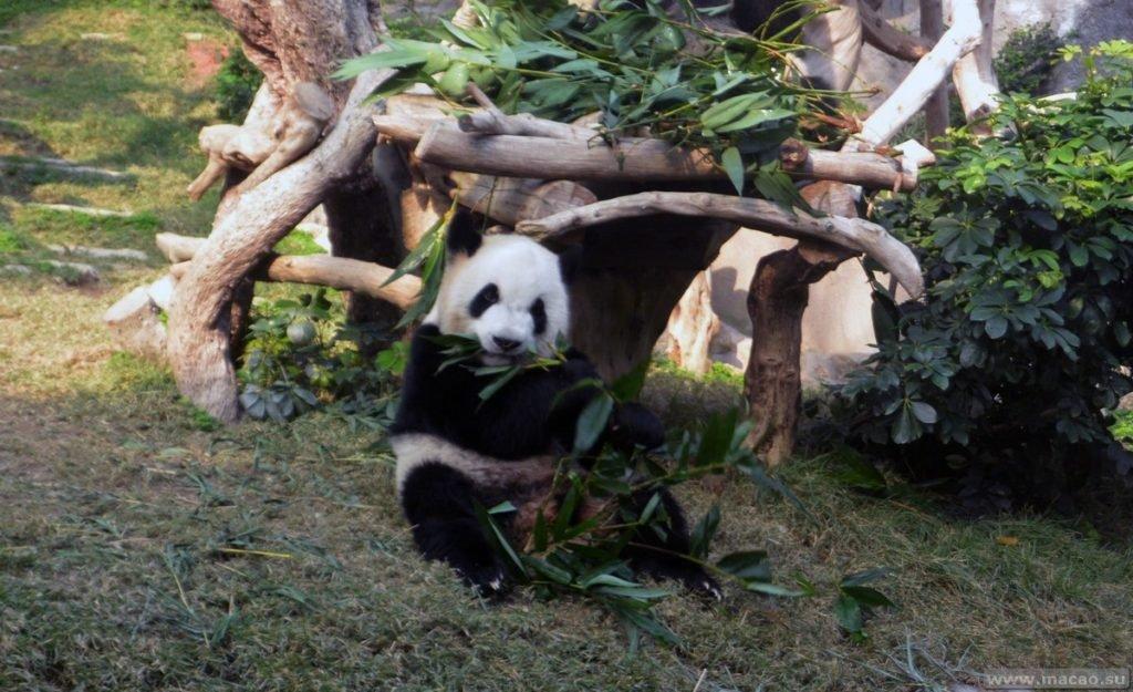 Гигантская панда в Макао за 1 день